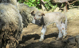 Small baby sheep and its mother stock photos