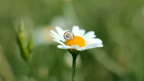 Small baby snail on the bloomin dasy flower Stock Photography