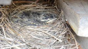 Small baby sparrow birds in nest macro detail stock video