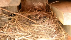 Small baby sparrow birds in nest macro detail stock video footage
