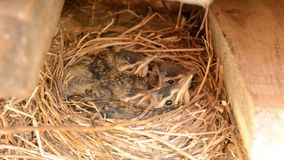 Small baby sparrow birds in nest macro detail stock footage