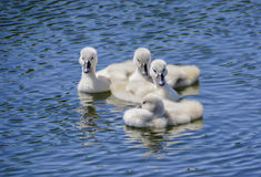 Small baby swans. Children swan on the blue surface of the lake stock photo
