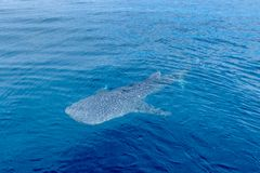 A small baby Whale Shark, shot from a boat, Nigaloo Reef Western Australia. A small baby Whale Shark, shot from a boat, Nigaloo Reef australia fish ningaloo stock image