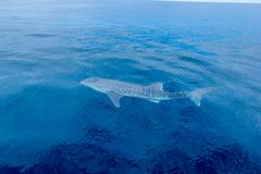 A small baby Whale Shark, shot from a boat, Nigaloo Reef Western Australia. A small baby Whale Shark, shot from a boat, Nigaloo Reef australia fish ningaloo stock photography