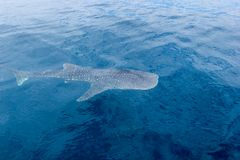 A small baby Whale Shark, shot from a boat, Nigaloo Reef Western Australia. A small baby Whale Shark, shot from a boat, Nigaloo Reef australia fish ningaloo royalty free stock photography