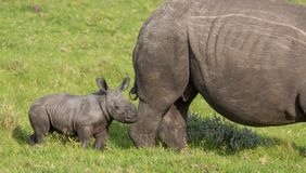 Small Baby White Rhino. Baby Rhino staying close to it`s mother`s protective side royalty free stock photography