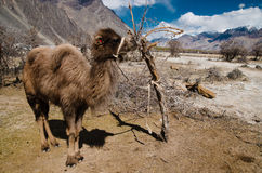 Small Bactrian camel standing on the desert. With mountain background Royalty Free Stock Photo