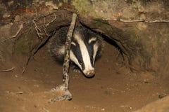 Badger cub Meles meles emerging from the badger sett royalty free stock photo