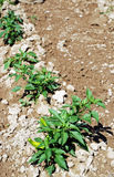 Small Banana Pepper Plants. Young banana pepper plants in a farm field Stock Photo