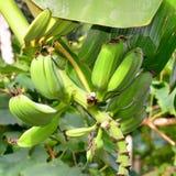 Small bananas Stock Images