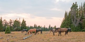 Small band of wild horses grazing next to deadwood logs at sunset in the Pryor Mountains Wild Horse Range in Montana USA Stock Photography