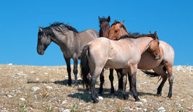 Small Band of Wild Horses on Sykes Ridge in the Pryor Mountains Wild Horse Range in Montana Stock Photo