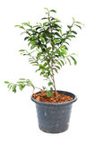 Small banyan tree plant Royalty Free Stock Image