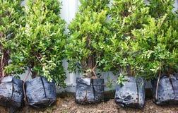 Small Banyan Trees. Stock Images