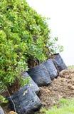 Small Banyan Trees. Stock Photo