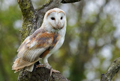 Small Barn Owl perched in a tree staring ahead Stock Photos