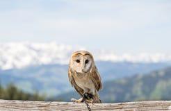 A small barn owl (Tyto alba). Sitting on a branch Stock Photos