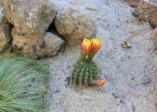 Small Barrel Cactus with yellow flower. Growing in sand royalty free stock photos
