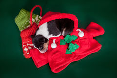 Small basenji puppy with cristmas decoration Stock Photo