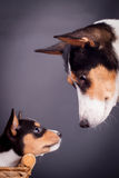 Small basenji puppy with mother. Small basenji puppy, 1,5 month old, with mother on black stock image