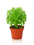 Small basil kind of Aristotle in a pot isolated Stock Image
