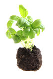Small basil plant isolated Stock Photos