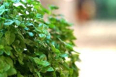 A small basil plant is shown on a street in Naoussa, Paros. Greece royalty free stock photography