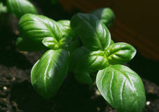 Small basil plants growing Royalty Free Stock Photography