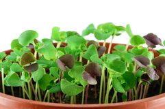 Small basil seedlings. Closeup on white background Stock Photo