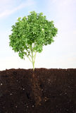 Small basil in soil sky as background Stock Images