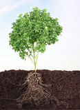 Small basil in soil with sky as background Stock Photos