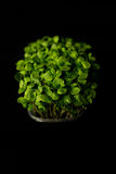 Small Basil sprouts Royalty Free Stock Photo