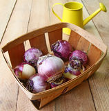 Small basket with the bulbs Stock Image