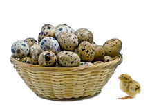 Small basket with quail eggs and nestling quail Royalty Free Stock Image