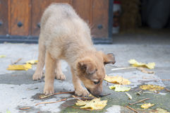 Small Basque shepherd puppy dog sniffing the dried leaves Royalty Free Stock Photos