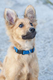Small Basque shepherd puppy, looking intently with ears cocked Stock Images