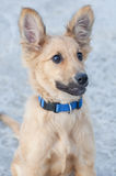 Small Basque shepherd puppy, looking intently with ears cocked Stock Photos