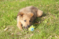 Small Basque shepherd puppy lying on the floor with a ball Royalty Free Stock Photos