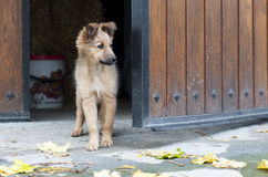 Small Basque shepherd puppy peering Royalty Free Stock Photos
