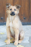 Small Basque shepherd puppy sitting Royalty Free Stock Photos