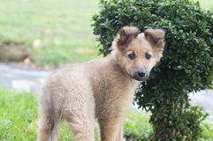 Small Basque shepherd puppy standing near a bush Stock Photo
