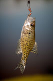 Small bass fish Royalty Free Stock Photography