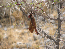 Small bat hanging in thorn-bush Royalty Free Stock Image