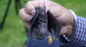 Small bat. A small specie of bat in mexico, hold by a naturalist, little bat whit his wings half open, showing his little theeth s and claws Stock Photos