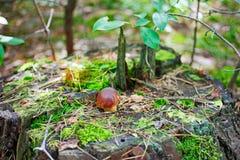 Small Bay Bolete mushroom (Hypholoma fasciculare) Royalty Free Stock Images