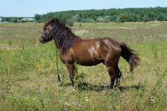 Small bay horse (pony) grazing in a meadow on a summer day Stock Photo