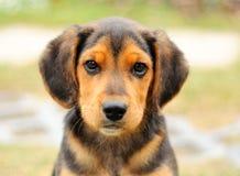 Small beagle Royalty Free Stock Photography
