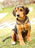 Small beagle Royalty Free Stock Photo