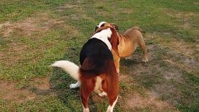 Beagle dog puppy hunting movie