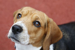 Small Beagle dog on red background looking up Royalty Free Stock Photography